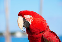 Large Adult Scarlet Macaw Bird...