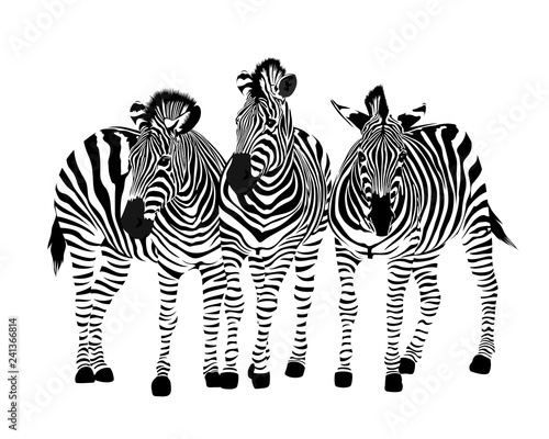 Fototapeta Three zebras standing. Savannah animal ornament. Wild animal texture. Striped black and white. Vector illustration isolated on white background. obraz