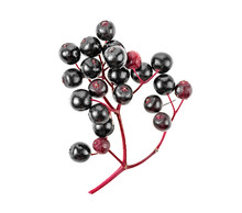 Black Elderberry Fresh Fruit Isolated On White Background