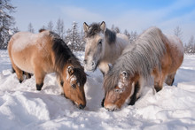 In Yakutia, Horses Live In The...