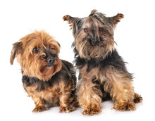 Yorkshire Terriers In Studio