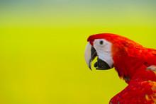 Closeup Scarlet Macaw