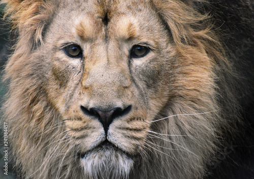 Photo  Male Asiatic Lion Close Up of Face with eye contact