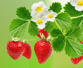 Fototapeta Owoce best strawberry garden