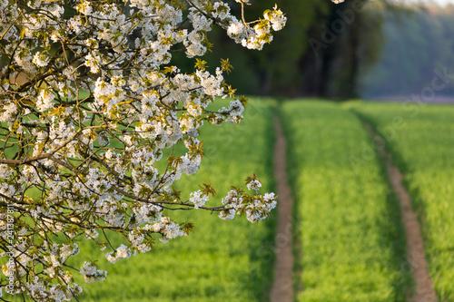 Naklejka premium kwiat wiśni
