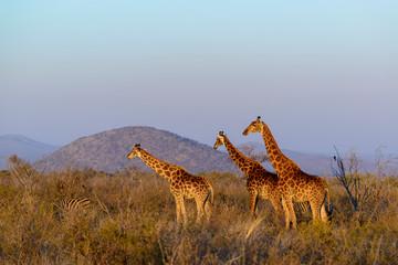 South African giraffe or Cape giraffe (Giraffa camelopardalis giraffa). South Africa
