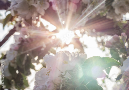 Sun rays through a blossoming apple tree branch