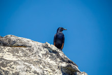 Red-winged Starling Sitting On...