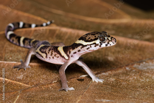 Central american banded gecko on a dead leaf in the Carara National Park in Cost Canvas Print