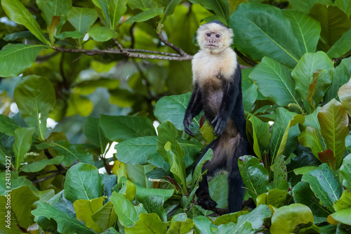 A wild capuchin monkey in an almond tree in the Carara National Park in Costa Ri Fototapet