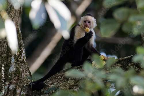 Fotografija A wild capuchin monkey eating a banana in a tree in the Carara National Park in