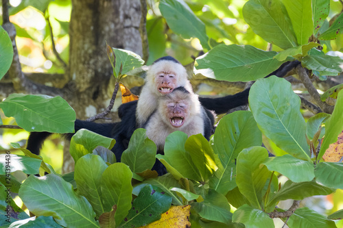 Valokuva A pair of wild capuchin monkeys mating in an almond tree in the Carara national