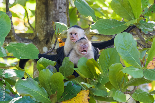 Photo A pair of wild capuchin monkeys mating in an almond tree in the Carara national