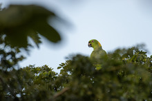 Yellow Naped Amazon Parrot Eating From A Tree In The Carara National Park In Costa Rica