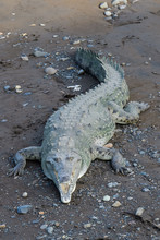 American Crocodile Sunbathing ...