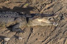 American Crocodile Sunbathing Underneath The Tarcoles Bridge In Costa Rica