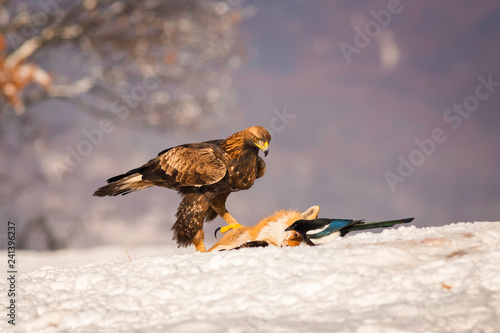 Fotografering  Beautiful Golden Eagle standing in the snow near a fox.