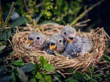 Lovebird Hatchlings In Nest