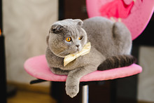 Gray Cat In A Bow Tie Lies On Chair