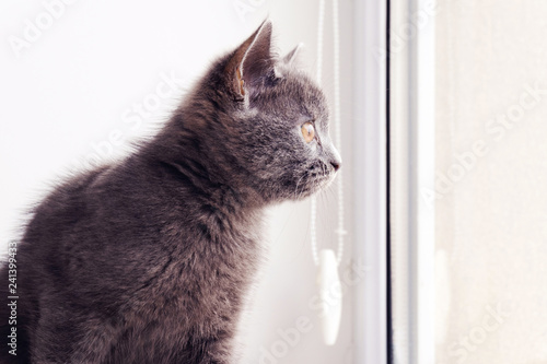 Fotografía  a british shorthair cat