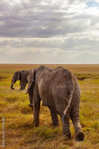 Cuadros en Lienzo African Elephants walking on savanna