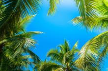 Coconut Palm Tree With Blue Sky.