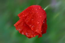 Red Poppy Flower After Heavy Rain