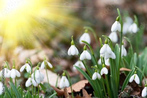 Staande foto Lente beautiful snowdrops