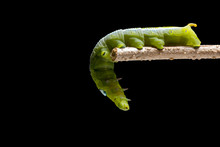 Oleander Hawk-moth  Caterpillar Or Army Green Moth  Caterpillar (Daphnis Nerii, Sphingidae) Climb At Plant, Isolated On Black Background