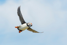 Atlantic Puffin (Fratercula Arctica) Flying With Caught Fish, Farne Islands, Northumberland, England, UK.