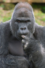 Silverback Gorilla In Thought