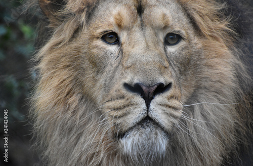 Photo  Male Adriatic lion portrait close up face and head