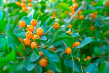 The Yellow Berries Of A Pyraca...