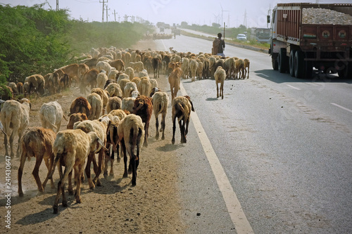 Goats and sheep being herded along the state highway near Bhuj in Gujarat, India Fototapet