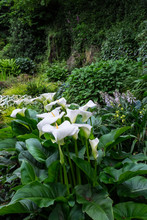 Zantedeschia Aethiopica, The Beautiful Arum Lily, Also Known As Calla Lily Growing In A Woodland Garden