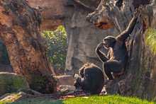Chimpanzee. Common Chimpanzee....