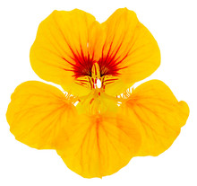 Nasturtium Flower Yellow Isolated