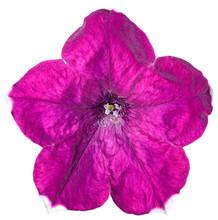 Petunia Flower Purple Isolated