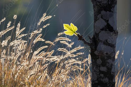Fotografía  New glowing green leaf at sunrise with fluffy grass