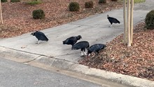 Black Vultures Scavenge A Dead Squirrel In A Neighborhood Driveway