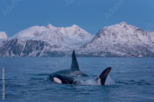 killer whale, orca, orcinus orca Canvas Print