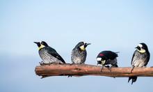 Acorn Woodpecker - Melanerpes Formicivorus. Blue Sky Background