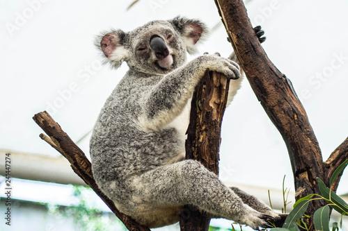Garden Poster Koala Animal / Wildlife concept. Beautiful close up view of cute liitle koala bear baby on the eukalyptus tree eating leaves. Wildlife animal in nature. Brisbane, Australia