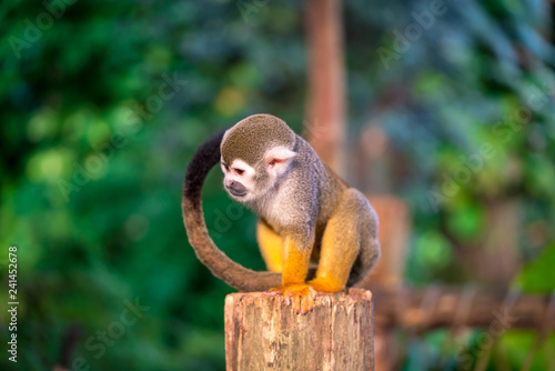Squirrel monkey sitting on a tree trunk