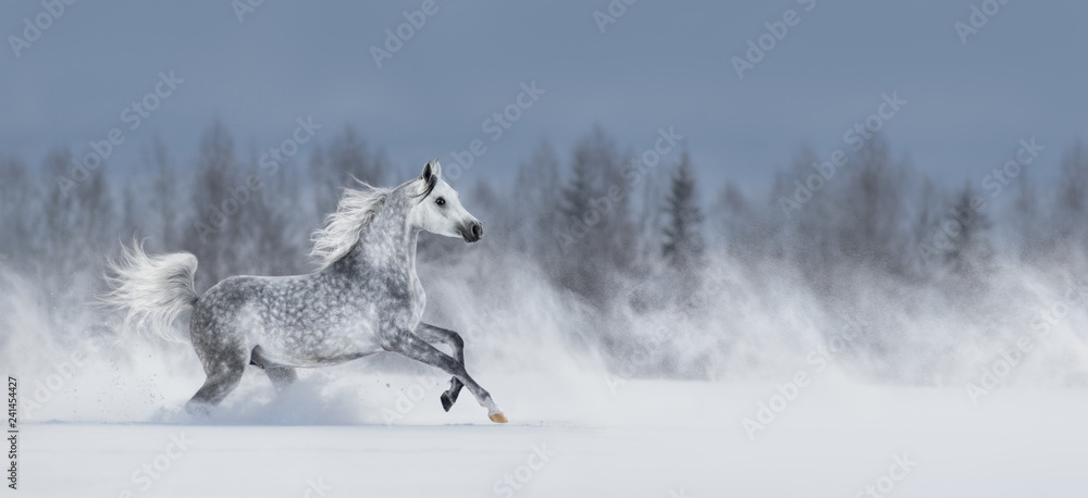 Grey arabian horse galloping across snowy field.