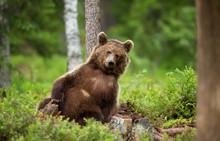 European Brown Bear Leaning Ag...
