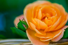 Gorgeous Fresh Flower Mini Roses Orange Color. Macro