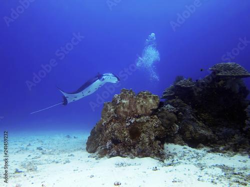 Obraz na dibondzie (fotoboard) Olbrzymi oceaniczny manta (Manta birostris) to gatunek promienia w rodzinie Mobulidae i największy typ promienia na świecie