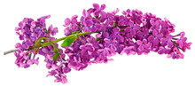 Lilac One Branch Isolated