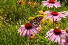 Monarch Butterfly Feeds On Echinacea Flowers In A Sunny Prairie Garden